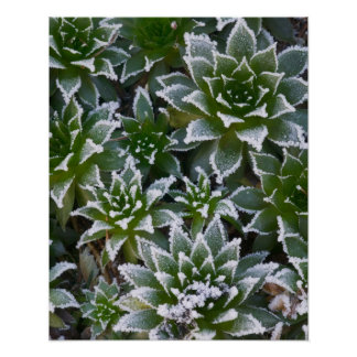 Hen & Chicks succulent with frost in the early Poster