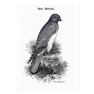 Hen Harrier Vintage Bird Illustration Postcard