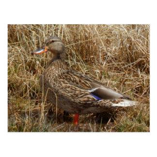 hen mallard duck postcard