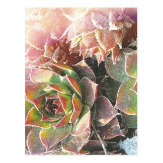 Hen snd Chick Plants, Succulents, Plant Photograph Postcard