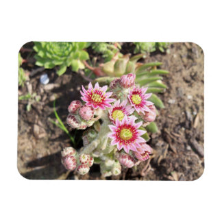 Hens and Chicks Flowers Flexible Magnet