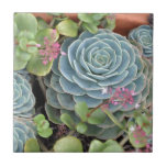 Hens and Chicks Plant Small Square Tile