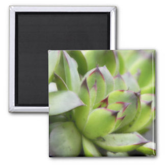 Hens And Chicks - Sempervivum Magnet