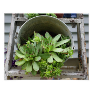 Hens And Chicks Succulents In A Bucket Nature Print