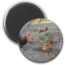 Hens and Rooster Magnet