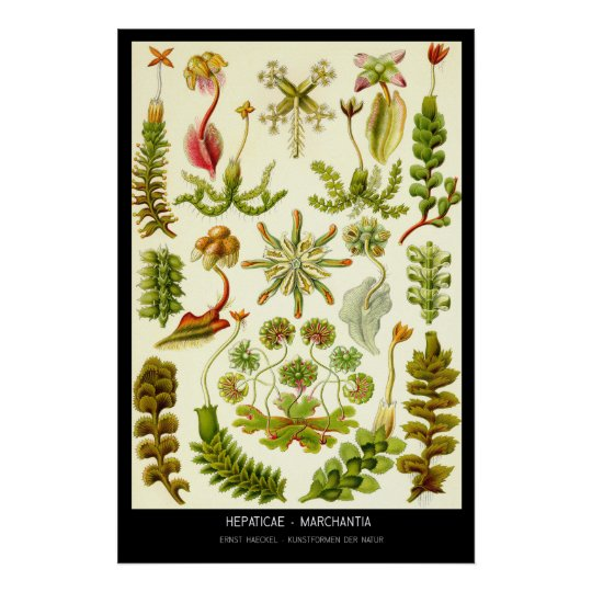 Hepaticae-Marchantia – Plate 82 - Kunstformen der Poster