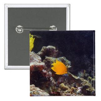 Herald's angelfish (Centropyge heraldi) swimming Button