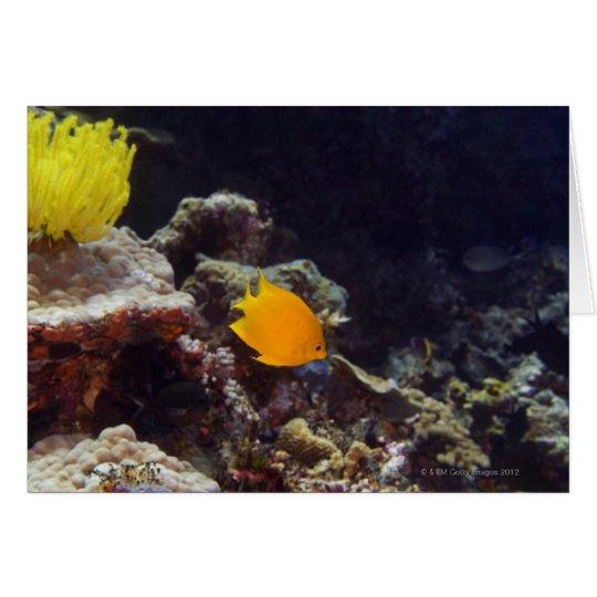 Herald's angelfish (Centropyge heraldi) swimming Card