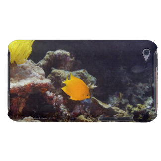 Herald's angelfish (Centropyge heraldi) swimming Case-Mate iPod Touch Case