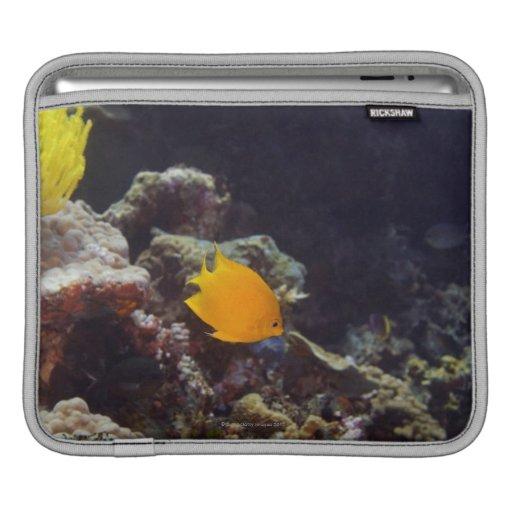 Herald's angelfish (Centropyge heraldi) swimming Sleeve For iPads