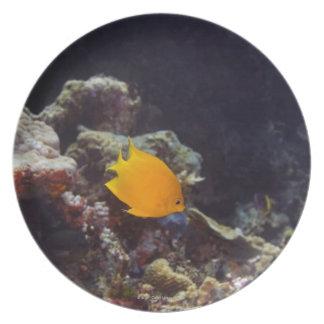 Herald's angelfish (Centropyge heraldi) swimming Melamine Plate