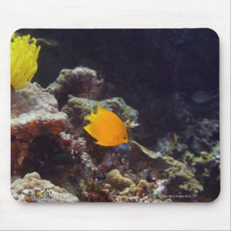 Herald's angelfish (Centropyge heraldi) swimming Mouse Pad