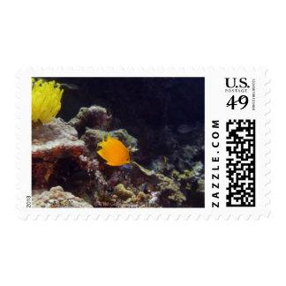 Herald's angelfish (Centropyge heraldi) swimming Postage