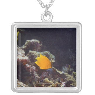 Herald's angelfish (Centropyge heraldi) swimming Silver Plated Necklace