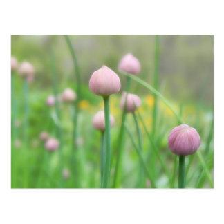 Herb Garden - Chive Buds Postcard