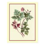 """""""Herb Robert"""" Botanical Illustration Postcard"""