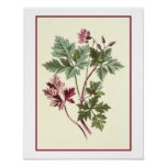 """Herb Robert"" Botanical Illustration Posters"