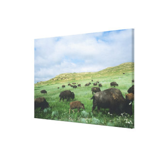 Herd of bison graze prairie grass at Theodore Canvas Print