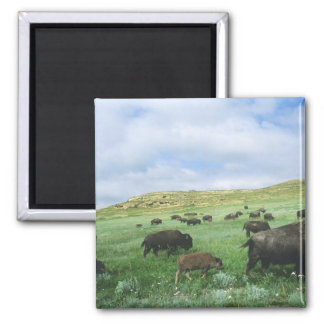 Herd of bison graze prairie grass at Theodore 2 Inch Square Magnet