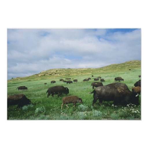 Herd of bison graze prairie grass at Theodore Poster