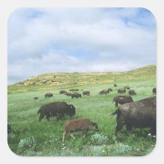 Herd of bison graze prairie grass at Theodore Square Sticker