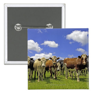 Herd of cattle and overcast sky pinback button