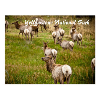 Herd of Elk at Yellowstone National Park Postcard