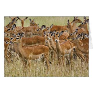 Herd of female Impala, Masai Mara, Kenya. Card