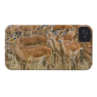Herd of female Impala, Masai Mara, Kenya. iPhone 4 Cover