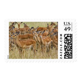 Herd of female Impala, Masai Mara, Kenya. Postage Stamp