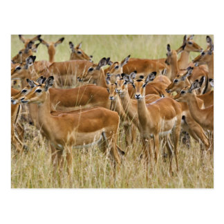 Herd of female Impala, Masai Mara, Kenya. Postcard