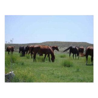 Herd of Horses - Logan County, Kansas Postcard