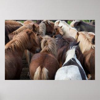 Herd of Icelandic horse Poster