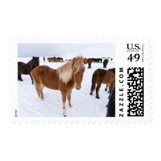 Herd of Icelandic Horses in Winter Postage