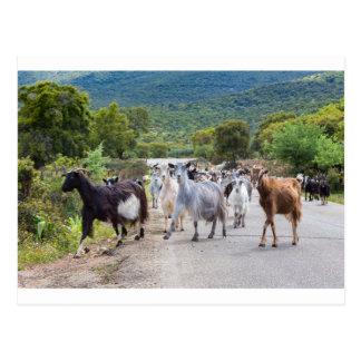 Herd of mountain goats walking on road postcard