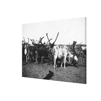 Herd of Reindeer in Alaska Photograph Canvas Print