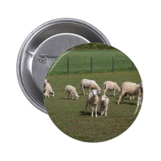 Herd of sheep button