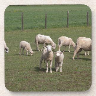 Herd of sheep drink coaster