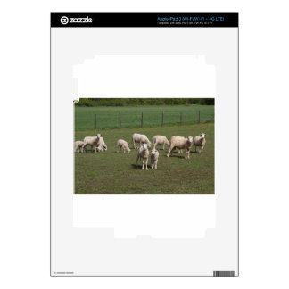 Herd of sheep iPad 3 skins