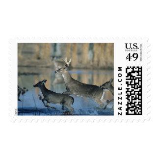 Herd of whitetail deer running through water postage stamp