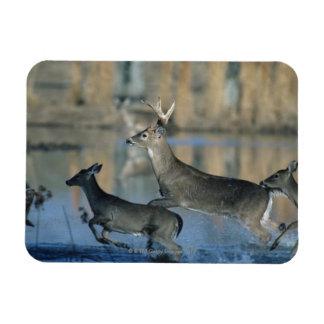 Herd of whitetail deer running through water flexible magnets