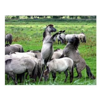 herd of wild konik horses postcard