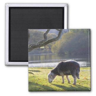 Herdwick sheep at Friars Crag, Derwentwater, 2 Inch Square Magnet
