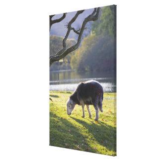Herdwick sheep at Friars Crag, Derwentwater, Canvas Print