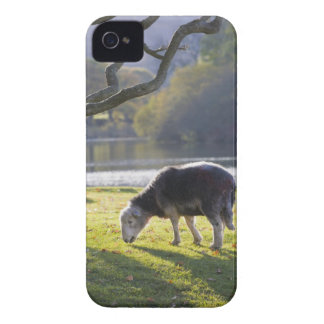 Herdwick sheep at Friars Crag, Derwentwater, iPhone 4 Case-Mate Cases