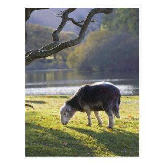 Herdwick sheep at Friars Crag, Derwentwater, Postcard