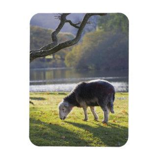 Herdwick sheep at Friars Crag, Derwentwater, Rectangular Photo Magnet