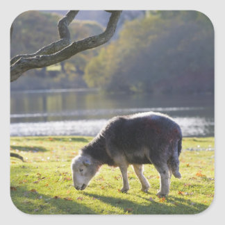 Herdwick sheep at Friars Crag, Derwentwater, Square Sticker