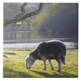 Herdwick sheep at Friars Crag, Derwentwater, Tile
