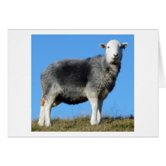 Herdwick Sheep Cards